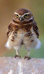 Owl looks like Rodger